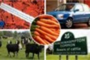 advent calendar of news: carrot-danglers started cow stampede and...
