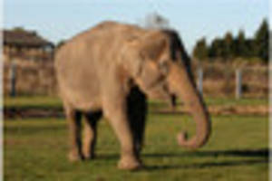death of twycross zoo elephant tonzi is announced