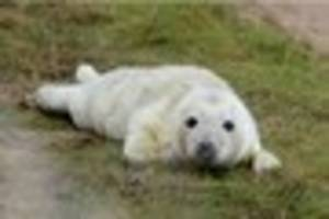 donna nook seal count begins to drop as they make their way back...