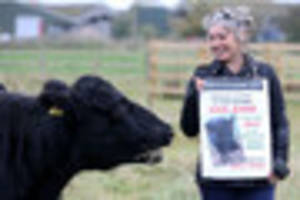 pet cow saved from slaughterhouse after generous animal lovers...