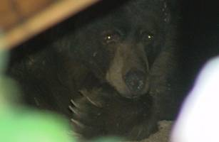 dangerous black bear living under man's house evicted by simple method; video