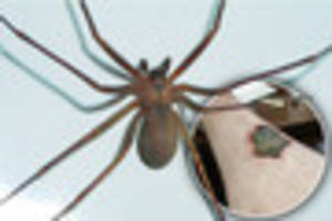 are these venomous spiders invading the uk, and will they come to...
