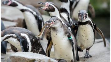 canada zoo probes seven penguin deaths