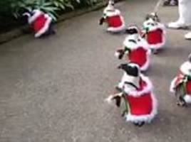 Waddling around the Christmas tree! Adorable penguins stroll through a Japanese park in Santa outfits