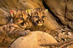 mountain lion p-39 is presumed dead; fate of her 3 kittens doesn't look good