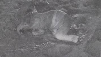 elephant birth captured on cctv at chester zoo