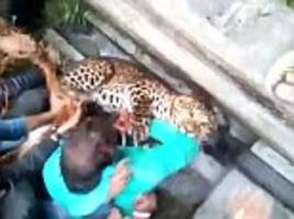 west bengal leopard escapes from captors and rampages through streets before fleeing