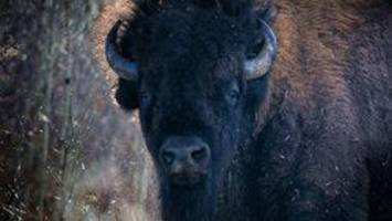 slaughter of bison in alberta film being investigated