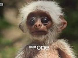 BBC 'robot baby monkey camera' draws attention from pack of Iangur monkeys'