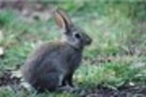 essex motorists find chopped up dead rabbits on their cars