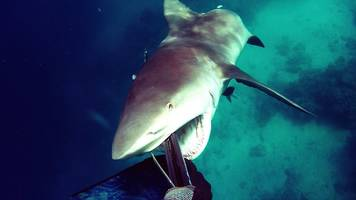 Diver reacts to attacking bull shark just in time; video