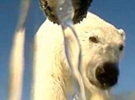 Footage of polar bear hunting seals is captured by GoPro strapped to predator's head