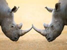 Forget Facebook, Rhinos use a social network of smells spread in their DUNG