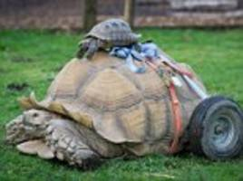 Tortoise is fitted with a pair of wheels after sex left him with severe arthritis