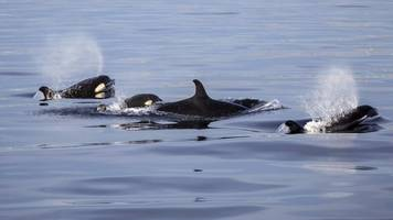 Why do killer whales and humans go through menopause?