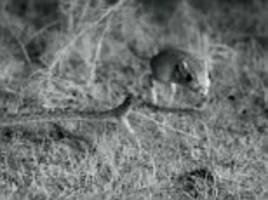 Moment rattlesnake attacks rat is captured in slow-motion for the first time