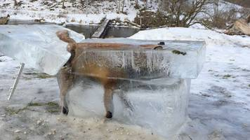 Frozen Mr Fox: Hunter displays animal preserved in block of ice