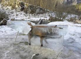 Hunter discovers fox entombed in ice in the Danube River