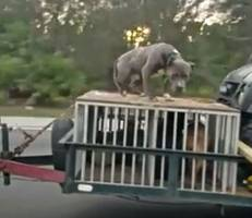 hunting dog chained to top of cage on trailer going 70 mph sparks outrage; video