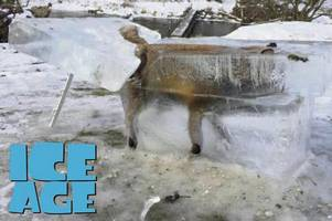 fox frozen in ice cube fished from river as ice age movie comes true
