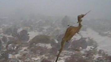 Ruby seadragon filmed for first time