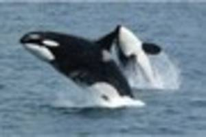 Key to menopause lies with killer whales