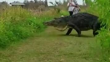 Giant alligator caught on film in Florida