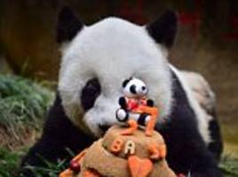 Basi the world's oldest panda turns 37 years old