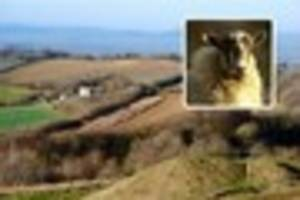 Sheep savaged to death by loose dog at Cotswold beauty spot