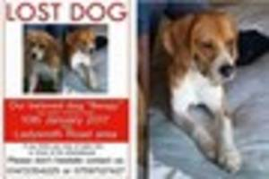 have you seen beagy the missing beagle?