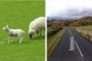 Police appeal after sheep 'attacked and killed' in Bovey Tracey