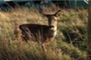 Much loved deer sadly put down due to dog attack