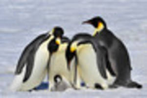 Dress in black and white  to mark Penguin Awareness Day for...