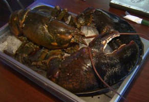 animal rights protectors kill a 100 year old lobster