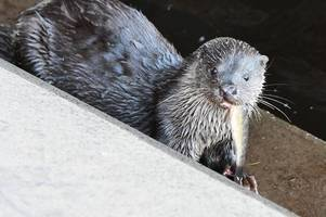 amateur photographer captures amazing shot of an otter on the river ayr just yards from his lens
