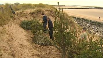 discarded christmas trees protect dunes at barkby beach