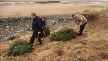 Christmas trees planted at Barkby Beach to protect dunes