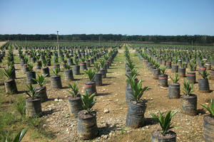 The real impact of palm oil and failed policies