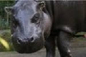 rare pygmy hippo nato at bristol zoo dies - just months after...