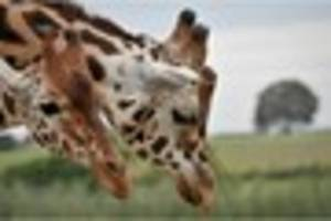 giraffe set for home at wildlife project near bristol later this...