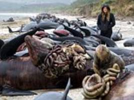 Whales stranded on the Golden Bay beach in New Zealand