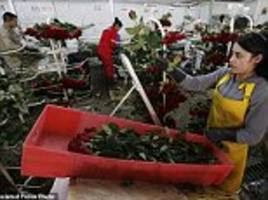 colombian cartels hiding cocaine in valentine's day roses