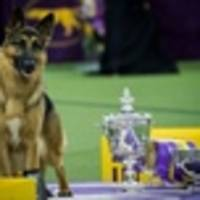 rumor does have it: rumor the german shepherd wins best in show at westminster dog show