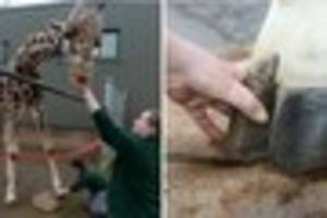 bristol's most famous giraffe has to have regular pedicures - and...