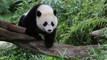 Are Conservation Efforts Really Saving Pandas?