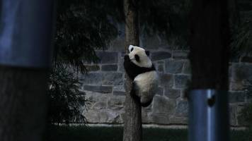Where To Go In The US To See A Giant Panda