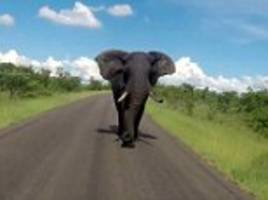 british tourist screams as jeep is chased by an elephant