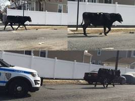 WATCH: Police Chase Cow Through Streets Of Queens