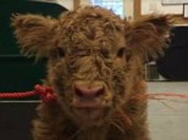 farm posts calf video and animal rights commenters descend