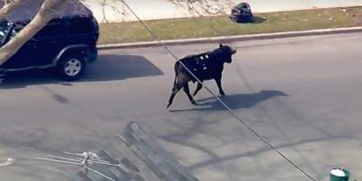 Bull charging through NYC takes social media by storm